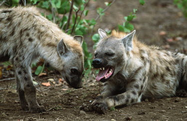 Pair of Spotted hyaenas - Sub-Saharan Africa Big cat,Cheetah,Acinonyx jubatus,Chordates,Chordata,Hyaenidae,Hyenas, Aardwolves,Carnivores,Carnivora,Mammalia,Mammals,laughing hyena,laughing hyaena,spotted hyena,Savannah,crocuta,Carnivorous,Least C