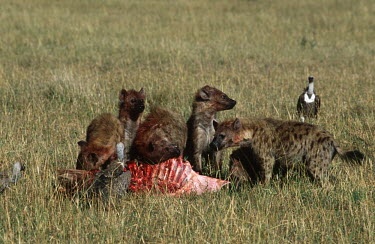 Spotted hyaenas and vulture at kill - Kenya, Africa African Wild Dog,Lycaon pictus,Chordates,Chordata,Hyaenidae,Hyenas, Aardwolves,Carnivores,Carnivora,Mammalia,Mammals,laughing hyena,laughing hyaena,spotted hyena,Savannah,crocuta,Carnivorous,Least Con