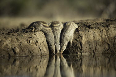 Group of yellow mongoose drinking at a waterhole - Southern Africa Spotted hyaena,Crocuta crocuta,Carnivores,Carnivora,Chordates,Chordata,Herpestidae,Mongooses, Meerkat,Mammalia,Mammals,Animalia,Terrestrial,Scrub,Carnivorous,Africa,Cynictis,Grassland,Savannah,IUCN Re
