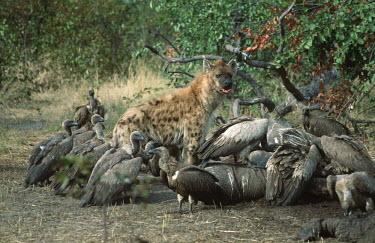 Spotted hyaenas with vultures scavenging at elephant carcass - Botswana, Africa Spotted hyaena,Crocuta crocuta,Chordates,Chordata,Hyaenidae,Hyenas, Aardwolves,Carnivores,Carnivora,Mammalia,Mammals,laughing hyena,laughing hyaena,spotted hyena,Savannah,crocuta,Carnivorous,Least Con