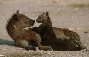 Spotted hyaena adult with cubs - Kenya, Africa Spotted hyaena,Crocuta crocuta,Chordates,Chordata,Hyaenidae,Hyenas, Aardwolves,Carnivores,Carnivora,Mammalia,Mammals,laughing hyena,laughing hyaena,spotted hyena,Savannah,crocuta,Carnivorous,Least Con