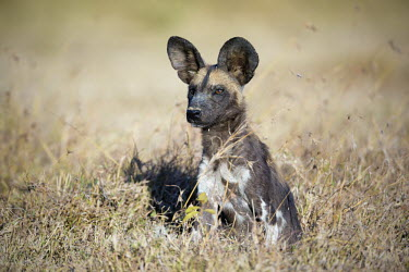 African wild dog sitting in grassland - Kenya, Africa Big cat,Leopard,Panthera pardus,Carnivores,Carnivora,Mammalia,Mammals,Chordates,Chordata,Dog, Coyote, Wolf, Fox,Canidae,painted hunting dog,Cape hunting dog,Lycaon,Licaon,Cynhyene,Loup-peint,Savannah,