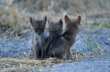 Young black-backed jackal pups outside den site - Africa Spotted hyaena,Crocuta crocuta,Carnivores,Carnivora,Mammalia,Mammals,Dog, Coyote, Wolf, Fox,Canidae,Chordates,Chordata,silver-backed jackal,Semi-desert,Forest,Terrestrial,Mountains,Canis,Animalia,Agri