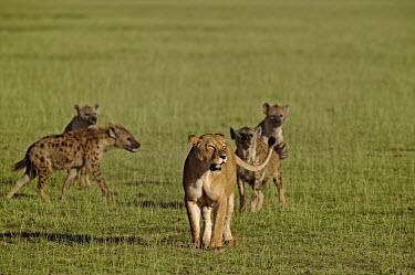 Spotted hyaena mobbing lion at kill - Kenya, Africa Meerkat,Suricata suricatta,Chordates,Chordata,Hyaenidae,Hyenas, Aardwolves,Carnivores,Carnivora,Mammalia,Mammals,laughing hyena,laughing hyaena,spotted hyena,Savannah,crocuta,Carnivorous,Least Concern