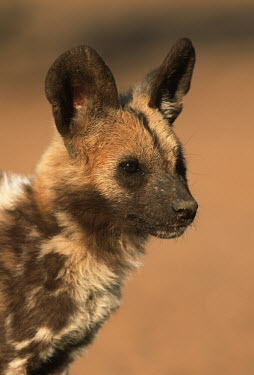 African wild dog 3 month old pup portrait - Sub-Saharan Africa Black-backed jackal,Canis mesomelas,Carnivores,Carnivora,Mammalia,Mammals,Chordates,Chordata,Dog, Coyote, Wolf, Fox,Canidae,painted hunting dog,Cape hunting dog,Lycaon,Licaon,Cynhyene,Loup-peint,Savan