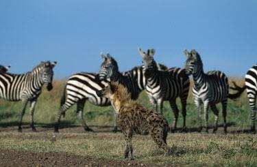 Spotted hyaena walking in front of line of zebra - Kenya, Africa Spotted hyaena,Crocuta crocuta,Chordates,Chordata,Hyaenidae,Hyenas, Aardwolves,Carnivores,Carnivora,Mammalia,Mammals,laughing hyena,laughing hyaena,spotted hyena,Savannah,crocuta,Carnivorous,Least Con