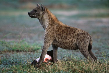 Spotted hyaena with wildebeest head - Okovango Delta, Botswana, Africa African Wild Dog,Lycaon pictus,Chordates,Chordata,Hyaenidae,Hyenas, Aardwolves,Carnivores,Carnivora,Mammalia,Mammals,laughing hyena,laughing hyaena,spotted hyena,Savannah,crocuta,Carnivorous,Least Con