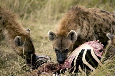 Spotted hyaena at zebra kill - Kenya, Africa Meerkat,Suricata suricatta,Chordates,Chordata,Hyaenidae,Hyenas, Aardwolves,Carnivores,Carnivora,Mammalia,Mammals,laughing hyena,laughing hyaena,spotted hyena,Savannah,crocuta,Carnivorous,Least Concern