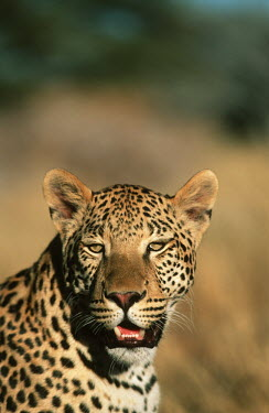 Leopard facing camera - Africa Spotted hyaena,Crocuta crocuta,Chordates,Chordata,Felidae,Cats,Mammalia,Mammals,Carnivores,Carnivora,Pantera,L�opard,Panth�re,Leopardo,Temperate,Savannah,Asia,Appendix I,Carnivorous,Panthera,Near Thre