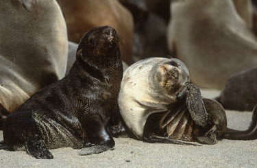 Two cape fur seal pups playing on the sand - South Africa Spotted hyaena,Crocuta crocuta,Otariidae,Eared Seals,Carnivores,Carnivora,Chordates,Chordata,Mammalia,Mammals,Afro-Australian fur seal,Arctocephalus forsteri,Arctocephalus tasmanicus,South African fur