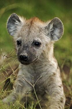 Spotted hyaena portrait of young pup - Kenya, Africa Big cat,Leopard,Panthera pardus,Chordates,Chordata,Hyaenidae,Hyenas, Aardwolves,Carnivores,Carnivora,Mammalia,Mammals,laughing hyena,laughing hyaena,spotted hyena,Savannah,crocuta,Carnivorous,Least Co