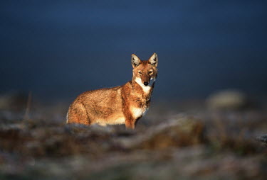 Ethiopian wolf standing in the sunlight - Ethiopia Big cat,Leopard,Panthera pardus,Dog, Coyote, Wolf, Fox,Canidae,Mammalia,Mammals,Chordates,Chordata,Carnivores,Carnivora,Abyssinian wolf,Simien fox,Simien jackal,Loup D'Abyssinie,Lobo Etiope,IUCN Red L