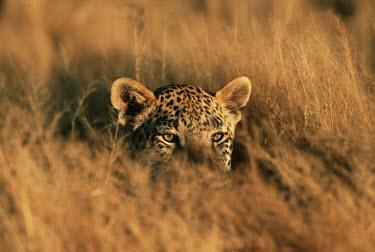 Leopard hidden in long grass - Africa Spotted hyaena,Crocuta crocuta,Chordates,Chordata,Felidae,Cats,Mammalia,Mammals,Carnivores,Carnivora,Pantera,L�opard,Panth�re,Leopardo,Temperate,Savannah,Asia,Appendix I,Carnivorous,Panthera,Near Thre