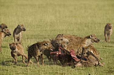 Spotted hyaena pack at kill - Kenya, Africa Black-backed jackal,Canis mesomelas,Chordates,Chordata,Hyaenidae,Hyenas, Aardwolves,Carnivores,Carnivora,Mammalia,Mammals,laughing hyena,laughing hyaena,spotted hyena,Savannah,crocuta,Carnivorous,Leas