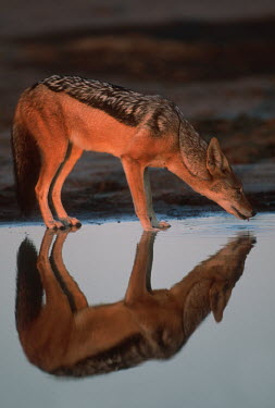 Black-backed jackal drinking at waterhole - Africa Meerkat,Suricata suricatta,Carnivores,Carnivora,Mammalia,Mammals,Dog, Coyote, Wolf, Fox,Canidae,Chordates,Chordata,silver-backed jackal,Semi-desert,Forest,Terrestrial,Mountains,Canis,Animalia,Agricult