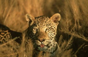 Leopard lying in long grass looking at camera - Africa Big cat,Leopard,Panthera pardus,Chordates,Chordata,Felidae,Cats,Mammalia,Mammals,Carnivores,Carnivora,Pantera,L�opard,Panth�re,Leopardo,Temperate,Savannah,Asia,Appendix I,Carnivorous,Panthera,Near Thr