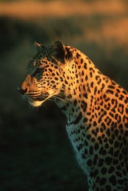 Leopard portrait - Africa Yellow mongoose,Cynictis penicillata,Chordates,Chordata,Felidae,Cats,Mammalia,Mammals,Carnivores,Carnivora,Pantera,L�opard,Panth�re,Leopardo,Temperate,Savannah,Asia,Appendix I,Carnivorous,Panthera,Nea