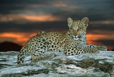 Juvenile leopard lying on a log at sunset - Africa Meerkat,Suricata suricatta,Chordates,Chordata,Felidae,Cats,Mammalia,Mammals,Carnivores,Carnivora,Pantera,L�opard,Panth�re,Leopardo,Temperate,Savannah,Asia,Appendix I,Carnivorous,Panthera,Near Threaten