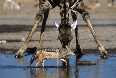 Black-backed jackal with giraffe at waterhole - Namibia, Africa Big cat,Leopard,Panthera pardus,Carnivores,Carnivora,Mammalia,Mammals,Dog, Coyote, Wolf, Fox,Canidae,Chordates,Chordata,silver-backed jackal,Semi-desert,Forest,Terrestrial,Mountains,Canis,Animalia,Agr