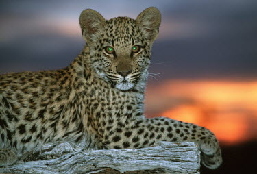 Juvenile leopard lying on a log at sunset - Africa Big cat,Leopard,Panthera pardus,Chordates,Chordata,Felidae,Cats,Mammalia,Mammals,Carnivores,Carnivora,Pantera,L�opard,Panth�re,Leopardo,Temperate,Savannah,Asia,Appendix I,Carnivorous,Panthera,Near Thr
