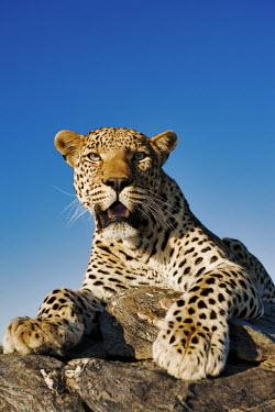 Leopard lying on a rock - Namibia - Africa Spotted hyaena,Crocuta crocuta,Chordates,Chordata,Felidae,Cats,Mammalia,Mammals,Carnivores,Carnivora,Pantera,L�opard,Panth�re,Leopardo,Temperate,Savannah,Asia,Appendix I,Carnivorous,Panthera,Near Thre