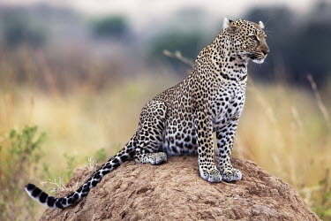 Leopard sitting on a termite mound as a vantage point - Kenya, Africa Big cat,Leopard,Panthera pardus,Chordates,Chordata,Felidae,Cats,Mammalia,Mammals,Carnivores,Carnivora,Pantera,L�opard,Panth�re,Leopardo,Temperate,Savannah,Asia,Appendix I,Carnivorous,Panthera,Near Thr