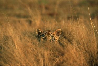 Leopard hiding in long grass - Africa Big cat,Leopard,Panthera pardus,Chordates,Chordata,Felidae,Cats,Mammalia,Mammals,Carnivores,Carnivora,Pantera,L�opard,Panth�re,Leopardo,Temperate,Savannah,Asia,Appendix I,Carnivorous,Panthera,Near Thr