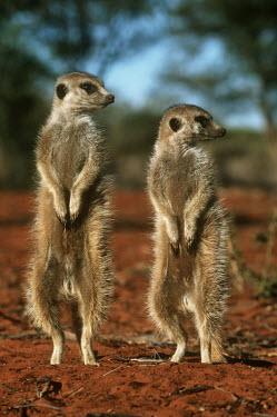 Meerkat standing upright looking to the side - Kalahari Desert, Africa Yellow mongoose,Cynictis penicillata,Herpestidae,Mongooses, Meerkat,Carnivores,Carnivora,Mammalia,Mammals,Chordates,Chordata,Slender-tailed meerkat,suricate,Subterranean,Sand-dune,Savannah,Africa,Terr