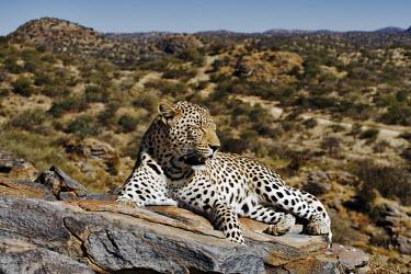 Leopard lying on a rock - Namibia - Africa Meerkat,Suricata suricatta,Chordates,Chordata,Felidae,Cats,Mammalia,Mammals,Carnivores,Carnivora,Pantera,L�opard,Panth�re,Leopardo,Temperate,Savannah,Asia,Appendix I,Carnivorous,Panthera,Near Threaten