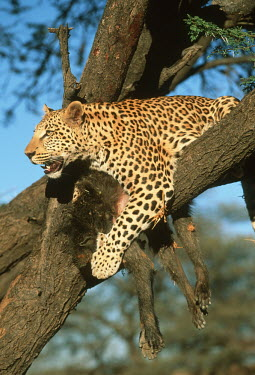 Leopard with baboon kill in tree - Africa Big cat,Leopard,Panthera pardus,Chordates,Chordata,Felidae,Cats,Mammalia,Mammals,Carnivores,Carnivora,Pantera,L�opard,Panth�re,Leopardo,Temperate,Savannah,Asia,Appendix I,Carnivorous,Panthera,Near Thr