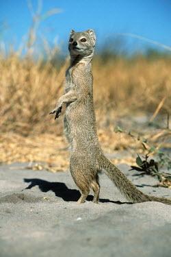 Yellow mongoose standing on hindlegs, looking out for predators - Southern Africa Ethiopian Wolf,Canis simensis,Carnivores,Carnivora,Chordates,Chordata,Herpestidae,Mongooses, Meerkat,Mammalia,Mammals,Animalia,Terrestrial,Scrub,Carnivorous,Africa,Cynictis,Grassland,Savannah,IUCN Red