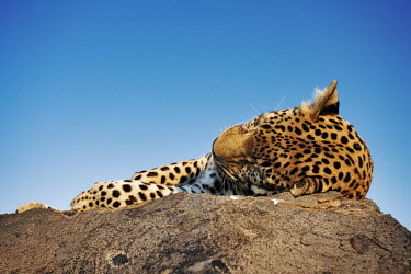 Leopard lying on a rock - Namibia - Africa Big cat,Leopard,Panthera pardus,Chordates,Chordata,Felidae,Cats,Mammalia,Mammals,Carnivores,Carnivora,Pantera,L�opard,Panth�re,Leopardo,Temperate,Savannah,Asia,Appendix I,Carnivorous,Panthera,Near Thr