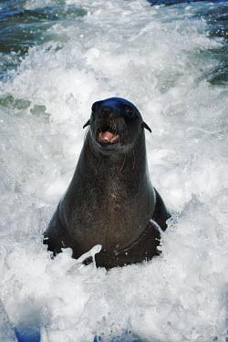 Cape fur seal surfing in the Atlantic ocean - Namibia, Africa Cape fur seal,Arctocephalus pusillus,Otariidae,Eared Seals,Carnivores,Carnivora,Chordates,Chordata,Mammalia,Mammals,Afro-Australian fur seal,Arctocephalus forsteri,Arctocephalus tasmanicus,South Afric