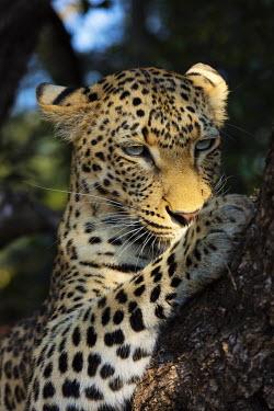 Leopard relaxing in a tree - Africa Serval,Leptailurus serval,Chordates,Chordata,Felidae,Cats,Mammalia,Mammals,Carnivores,Carnivora,Pantera,L�opard,Panth�re,Leopardo,Temperate,Savannah,Asia,Appendix I,Carnivorous,Panthera,Near Threatene