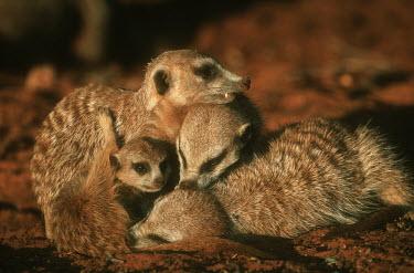 Meerkats grooming in the sun - Kalahari Desert, Africa Meerkat,Suricata suricatta,Herpestidae,Mongooses, Meerkat,Carnivores,Carnivora,Mammalia,Mammals,Chordates,Chordata,Slender-tailed meerkat,suricate,Subterranean,Sand-dune,Savannah,Africa,Terrestrial,De