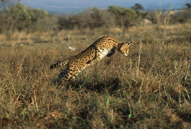 Serval hunting and pouncing on prey - Africa Serval,Leptailurus serval,Felidae,Cats,Mammalia,Mammals,Carnivores,Carnivora,Chordates,Chordata,Chat-tigre,Leptailurus,Least Concern,Africa,Savannah,Carnivorous,Animalia,serval,Terrestrial,Appendix II