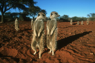 Group of meerkats warm up in the early morning sun of winter - Kalahari Desert, Africa Meerkat,Suricata suricatta,Herpestidae,Mongooses, Meerkat,Carnivores,Carnivora,Mammalia,Mammals,Chordates,Chordata,Slender-tailed meerkat,suricate,Subterranean,Sand-dune,Savannah,Africa,Terrestrial,De