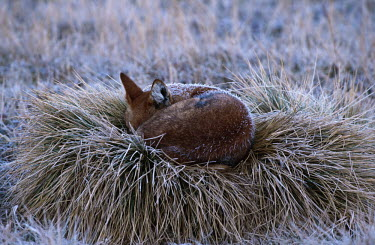 Ethiopian wolf sleeping and covered by early morning frost - Ethiopia Meerkat,Suricata suricatta,Dog, Coyote, Wolf, Fox,Canidae,Mammalia,Mammals,Chordates,Chordata,Carnivores,Carnivora,Abyssinian wolf,Simien fox,Simien jackal,Loup D'Abyssinie,Lobo Etiope,IUCN Red List,C