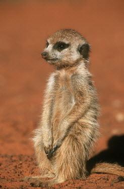Six week old Meerkat pup sitting in the sun - Kalahari Desert, Africa Ethiopian Wolf,Canis simensis,Herpestidae,Mongooses, Meerkat,Carnivores,Carnivora,Mammalia,Mammals,Chordates,Chordata,Slender-tailed meerkat,suricate,Subterranean,Sand-dune,Savannah,Africa,Terrestrial