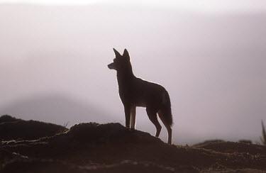 Ethiopian wolf silhouette - Ethiopia Meerkat,Suricata suricatta,Dog, Coyote, Wolf, Fox,Canidae,Mammalia,Mammals,Chordates,Chordata,Carnivores,Carnivora,Abyssinian wolf,Simien fox,Simien jackal,Loup D'Abyssinie,Lobo Etiope,IUCN Red List,C