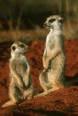 Pair of meerkats standing guard - Kalahari Desert, Africa Meerkat,Suricata suricatta,Herpestidae,Mongooses, Meerkat,Carnivores,Carnivora,Mammalia,Mammals,Chordates,Chordata,Slender-tailed meerkat,suricate,Subterranean,Sand-dune,Savannah,Africa,Terrestrial,De