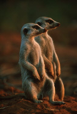 Meerkat sentinels stand upright to gain wider view of area - Kalahari Desert, Africa Meerkat,Suricata suricatta,Herpestidae,Mongooses, Meerkat,Carnivores,Carnivora,Mammalia,Mammals,Chordates,Chordata,Slender-tailed meerkat,suricate,Subterranean,Sand-dune,Savannah,Africa,Terrestrial,De