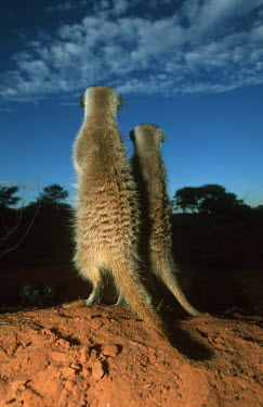 Two meerkats rear view standing guard - Kalahari Desert, Africa Meerkat,Suricata suricatta,Herpestidae,Mongooses, Meerkat,Carnivores,Carnivora,Mammalia,Mammals,Chordates,Chordata,Slender-tailed meerkat,suricate,Subterranean,Sand-dune,Savannah,Africa,Terrestrial,De