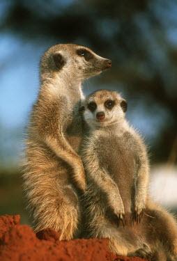 Pair of meerkats sitting - Kalahari Desert, Africa Meerkat,Suricata suricatta,Herpestidae,Mongooses, Meerkat,Carnivores,Carnivora,Mammalia,Mammals,Chordates,Chordata,Slender-tailed meerkat,suricate,Subterranean,Sand-dune,Savannah,Africa,Terrestrial,De