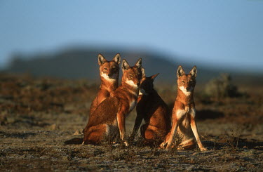 Four Ethiopian wolves looking towards the camera - Ethiopia Ethiopian Wolf,Canis simensis,Dog, Coyote, Wolf, Fox,Canidae,Mammalia,Mammals,Chordates,Chordata,Carnivores,Carnivora,Abyssinian wolf,Simien fox,Simien jackal,Loup D'Abyssinie,Lobo Etiope,IUCN Red Lis