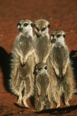 Family group of meerkats warm up in the early morning sun of winter - Kalahari Desert, Africa Ethiopian Wolf,Canis simensis,Herpestidae,Mongooses, Meerkat,Carnivores,Carnivora,Mammalia,Mammals,Chordates,Chordata,Slender-tailed meerkat,suricate,Subterranean,Sand-dune,Savannah,Africa,Terrestrial