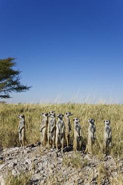 Group of meerkats standing guard - Botswana, Africa Ethiopian Wolf,Canis simensis,Herpestidae,Mongooses, Meerkat,Carnivores,Carnivora,Mammalia,Mammals,Chordates,Chordata,Slender-tailed meerkat,suricate,Subterranean,Sand-dune,Savannah,Africa,Terrestrial