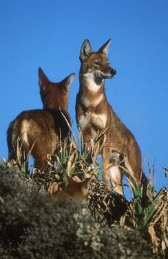 Pair of Ethiopian wolves - Ethiopia Meerkat,Suricata suricatta,Dog, Coyote, Wolf, Fox,Canidae,Mammalia,Mammals,Chordates,Chordata,Carnivores,Carnivora,Abyssinian wolf,Simien fox,Simien jackal,Loup D'Abyssinie,Lobo Etiope,IUCN Red List,C