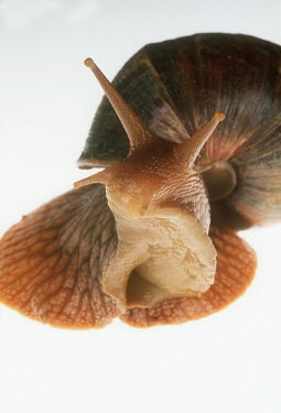 Bushveld land snail shot in a studio setting Close up,White background,shell,Macro,macrophotography,exoskeleton,Bushveld land snail,Achatina immaculata
