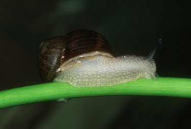 Garden snail on fungi, shot in a studio setting Garden snail,Cantareus aspersus.,Gastropoda,Gastropods,Mollusca,Mollusks,Sand-dune,Animalia,Herbivorous,Asia,Common,Stylommatophora,North America,Forest,Agricultural,Africa,Terrestrial,Helix,Urban,Hel